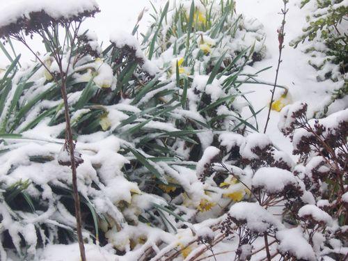 Sad_daffodils